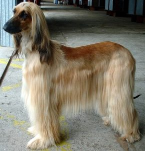We Love Afghan Hounds -